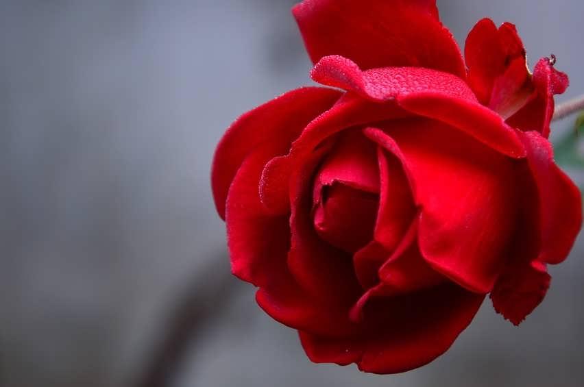 Как долго сохранить розы
