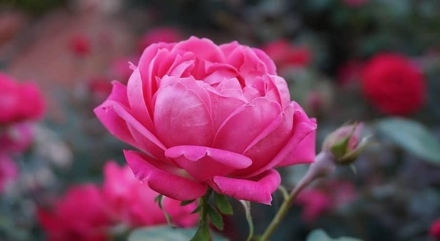 В какую воду нужно ставить розы