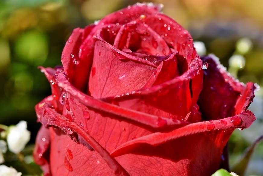 Что добавить в воду, чтобы розы стояли дольше